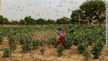 Nueva Delhi en alerta máxima después de que las langostas del desierto pululan por la vecina Gurgaon