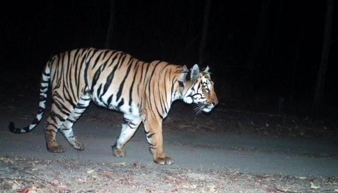 Tiger census india