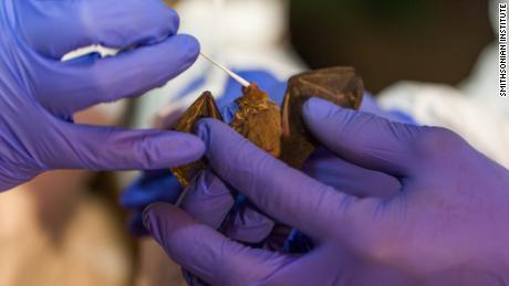 Los cazadores de virus que buscan en cuevas de murciélagos para predecir la próxima pandemia