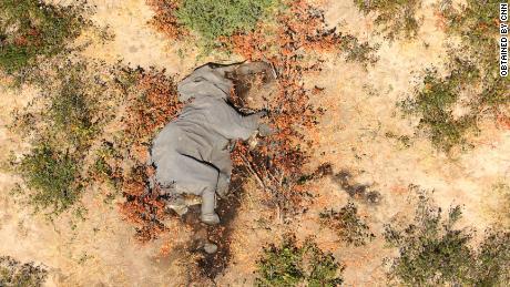 """Las imágenes obtenidas por CNN muestran que muchos de los elefantes mienten """"plano sobre sus caras."""""""