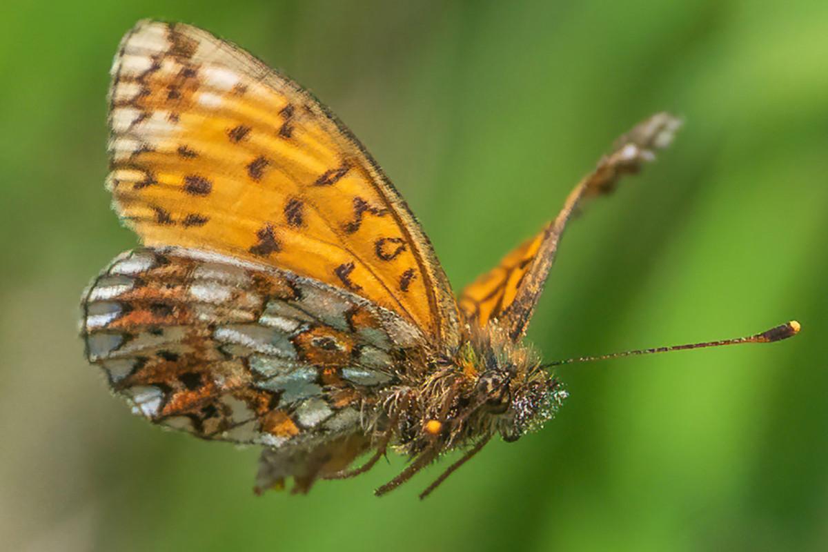 El fotógrafo toma imágenes notables de mariposa en peligro de extinción volando de flor