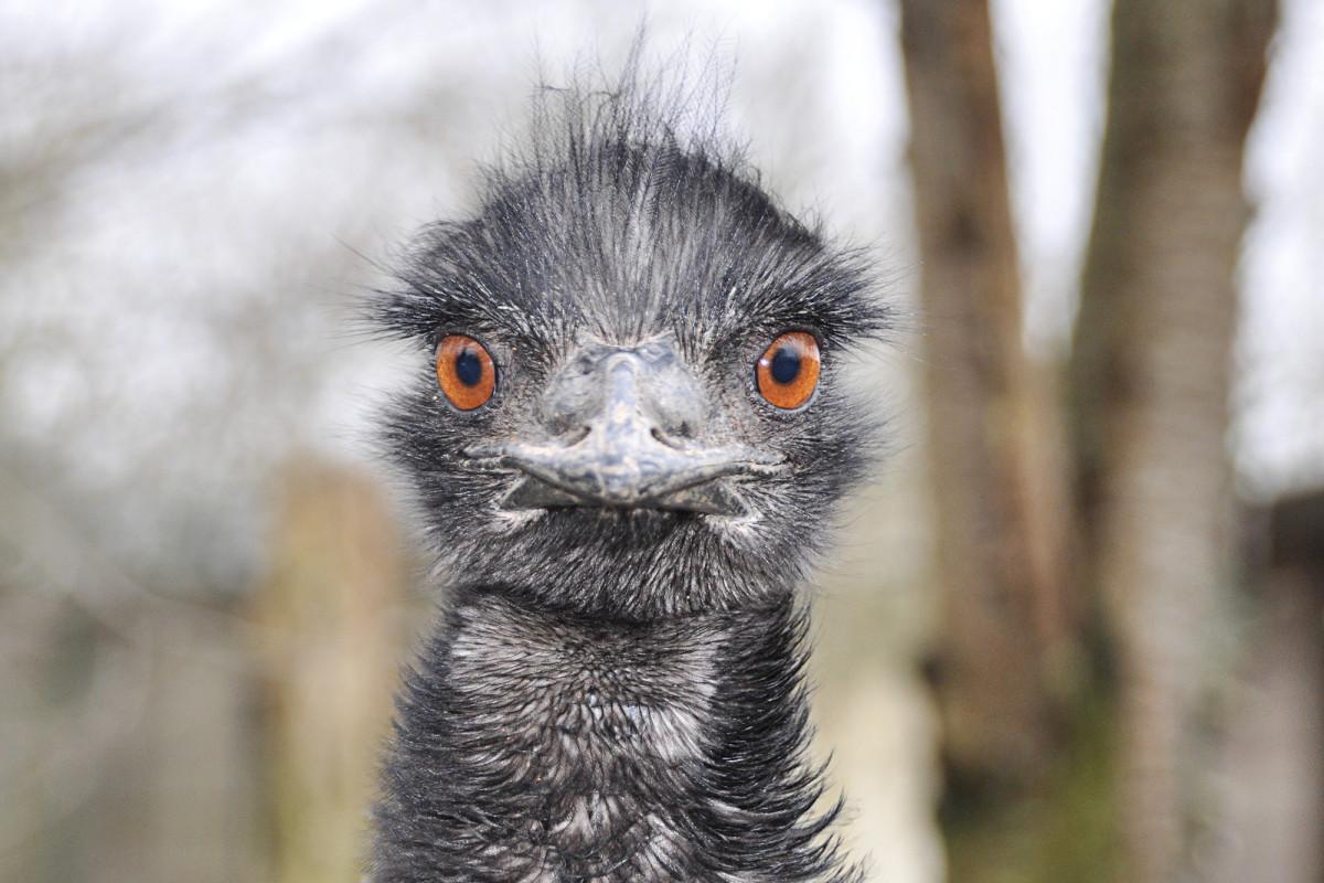 El pub australiano ya no permitirá emus en las instalaciones