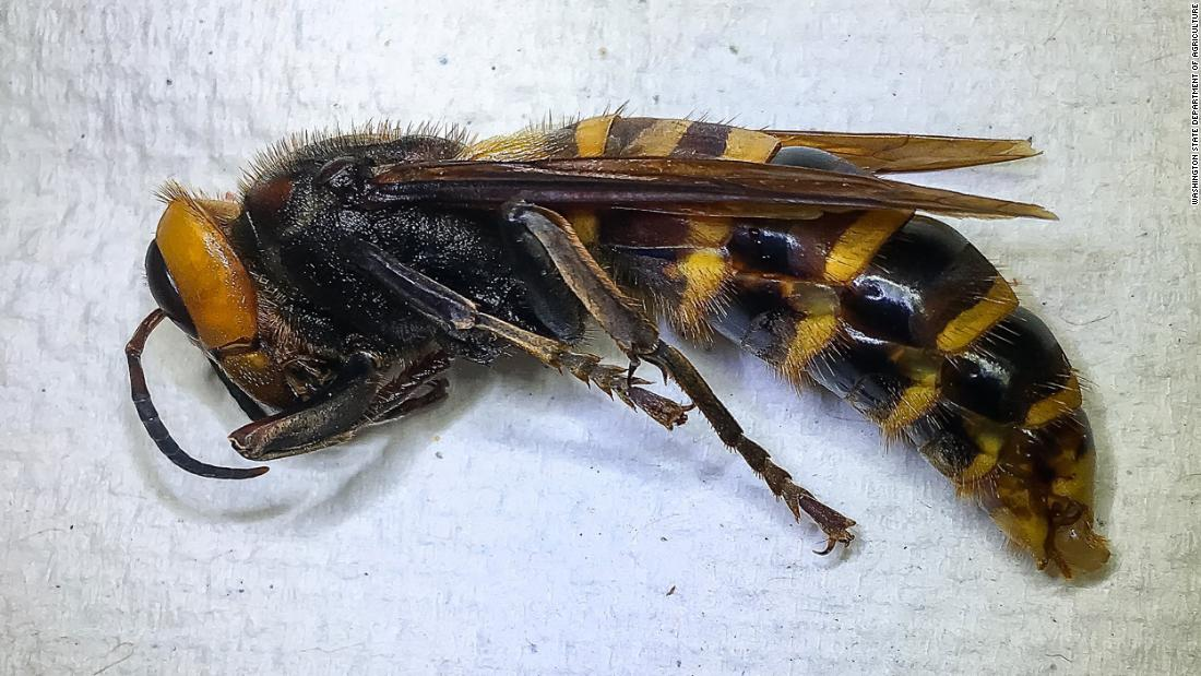 Invasive 'murder hornet' spotted in US for first time