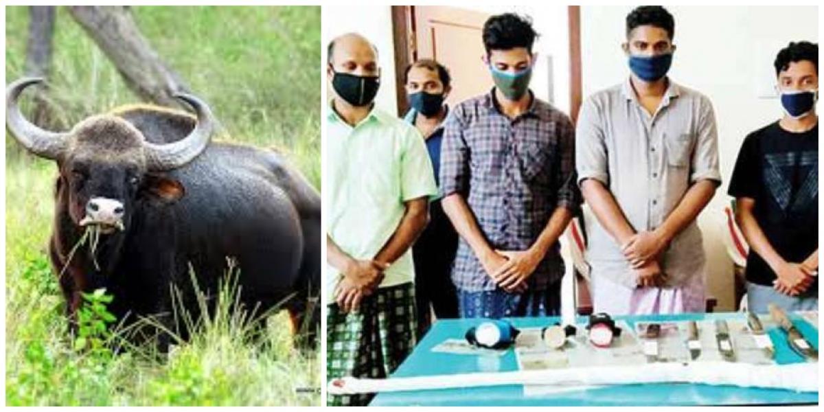 Kerala pregnant buffalo