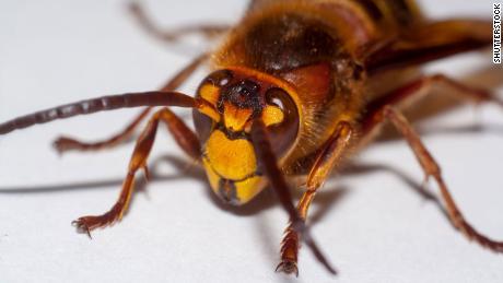 Avispones gigantes invasores han sido vistos en los Estados Unidos por primera vez